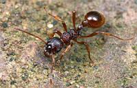 Муравьи вида Myrmica Rubra- рыжая мирмика