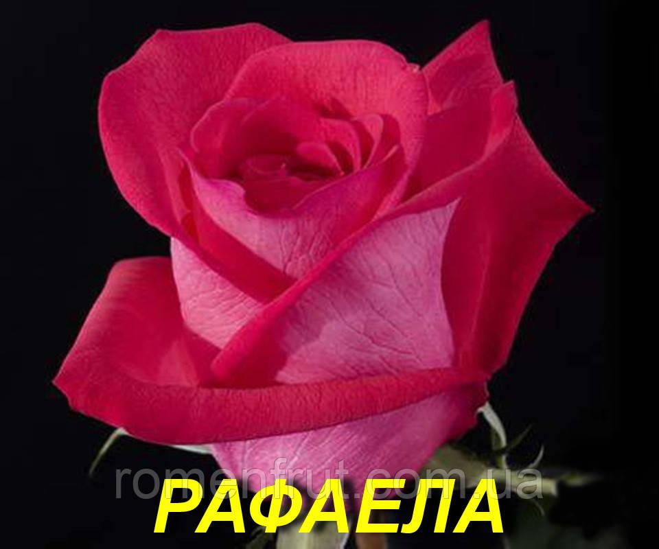 """Роза """"Рафаелла"""" (ч-г) (ЗКС)"""