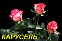 """Роза """"Карусель"""" (ч-г) (ЗКС)"""