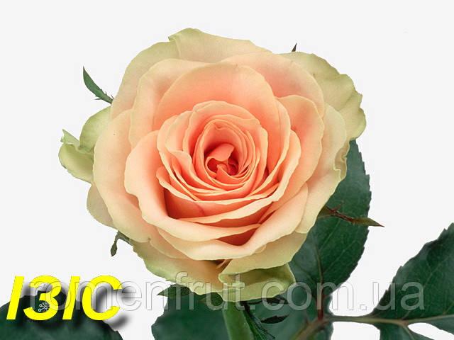 """Роза """"Изис"""" (спрей) (ЗКС)"""