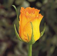 Роза чайно-гибридная Керио, фото 1
