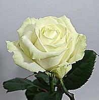 Роза чайно-гибридная Аваланш осень