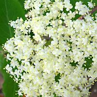Бузина черная цветки сушеные фасовка 100 грамм.