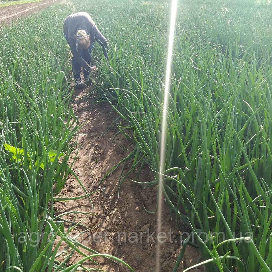 Семена лука Деподжу (Банко) F1 среднеранний, 250 000 семян (БТ Сид Турция), фото 7