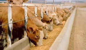 Корма для відгодівлі тварин