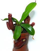 Растение хищник Непентес Кровавая Мэри AlienPlants Nepenthes Bloody Merry (SUN008CP)