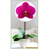 """Растения - Орхидея (подросток) """"VIVALDI"""", 1 шт."""