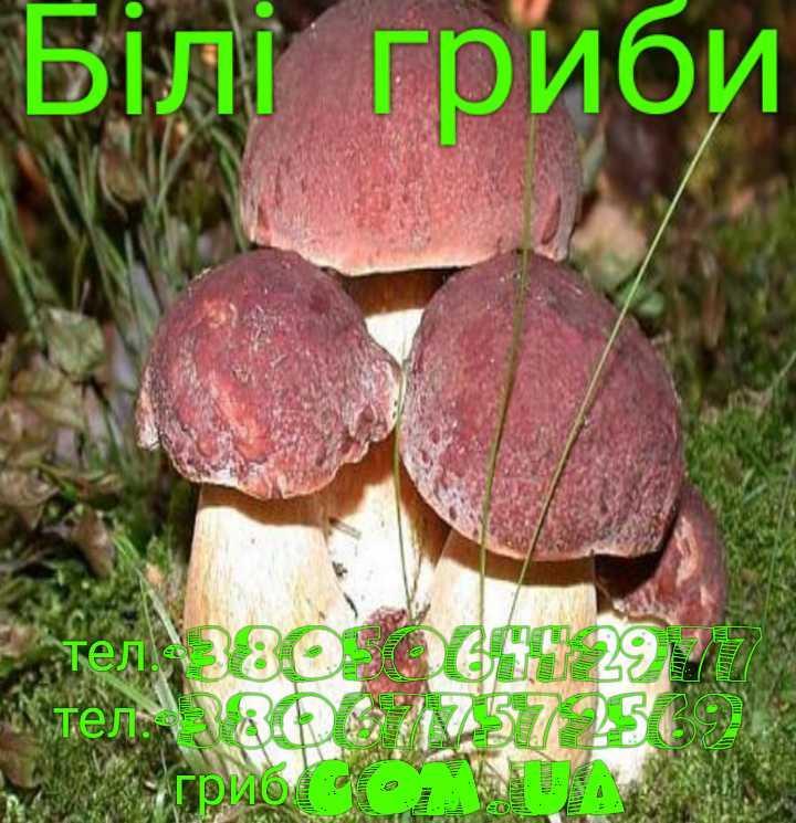 Білі гриби, фото 1