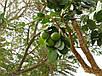 Семена Содомское Яблоко, фото 3