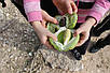 Семена Содомское Яблоко, фото 5