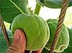 Семена Содомское Яблоко, фото 6