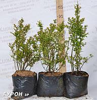 Саженцы голубики сорт Гурон, 3 летние пакет 7.5 л 60-80 см, фото 1