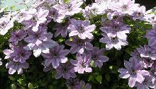 Вьющиеся растения, лианы
