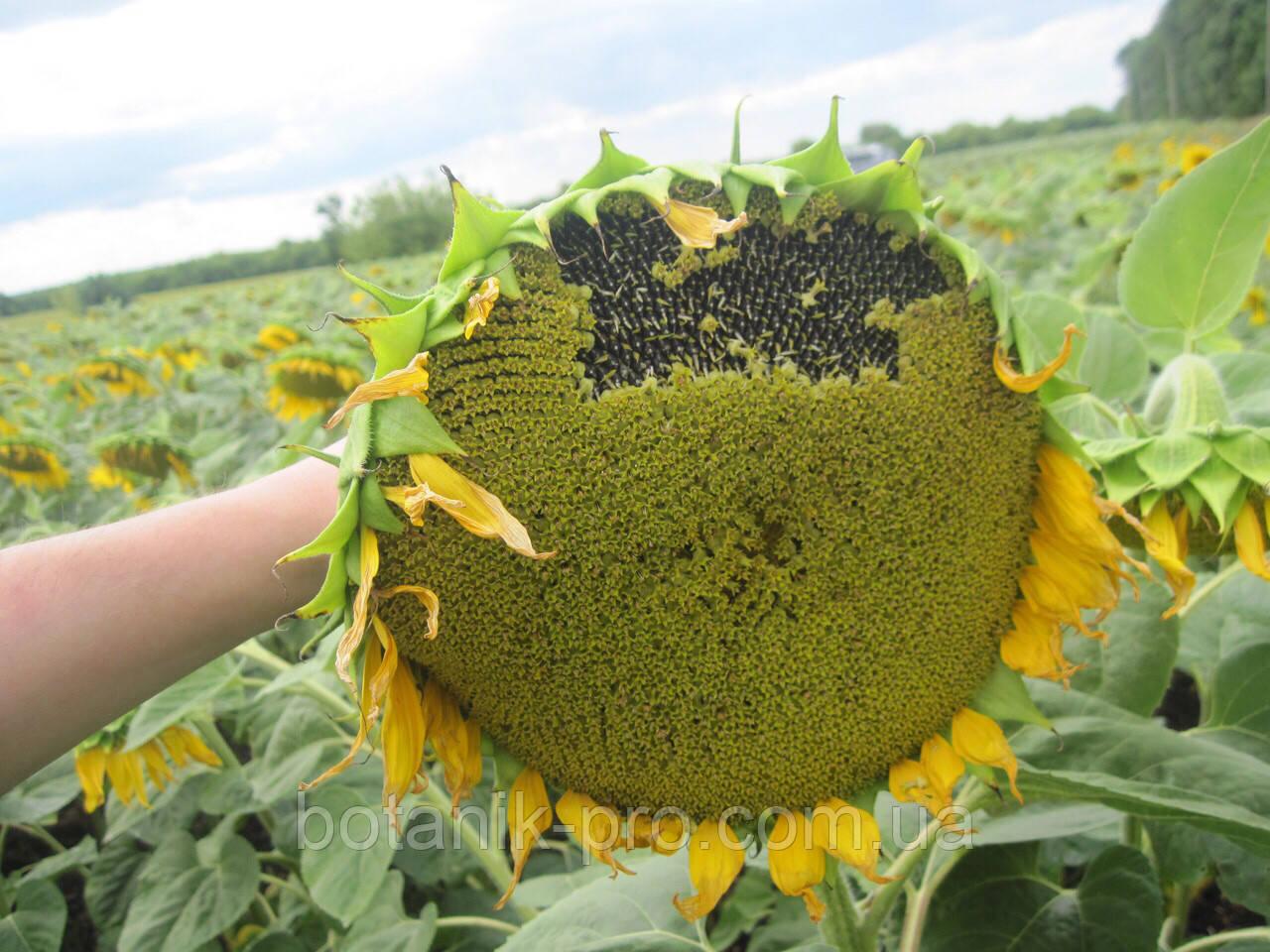 Семена подсолнечника Агроспецпроект Бенето фракция стандарт урожай 2018 года
