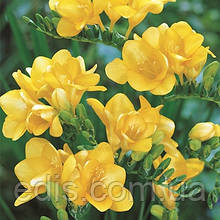 Фрезия махровая Yellow / Жёлтая / 5 луковиц/уп.