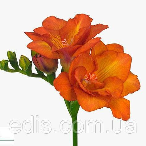 Фрезия махровая Оранжевая 5 луковиц/уп., фото 2