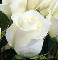 Розa чaйно -гибриднaя  Анaстaсия