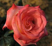 Роза чайно-гибридная Блаш (Блажь) осень