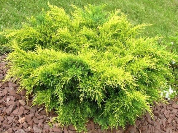 Можжевельник средний Олд Голд \ Juniperus media Old Gold (С3)