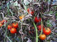 Распространённые болезни томатов: характеристика и методы лечения