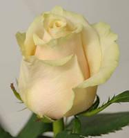 Роза чaйно гибриднaя Тaлея (Talea)