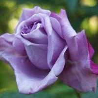 Роза чайно-гибридная  Блю Нил, фото 1