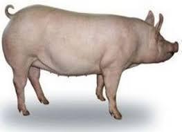 Натуральний корм для свиней поросят