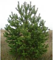 Саженец сосна Обыкновенная (Pinus sylvestris)