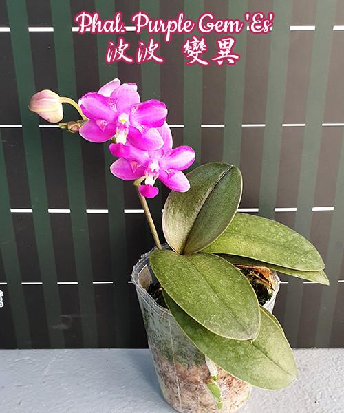 Орхидеи. Сорт Purple Gem 'Es'  размер 2.5 без цветов