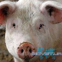 УЗД репродуктивних органів свиноматки (1 голова)