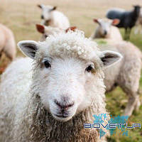 УЗИ обследование репродуктивных органов овцы (1 гол)