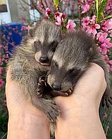Ручные щенки енота полоскуна, фото 1