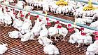 Решетчатый пластиковый пол для бройлеров  1000х1000 мм, щелевые пластиковые полы для птичников, фото 4
