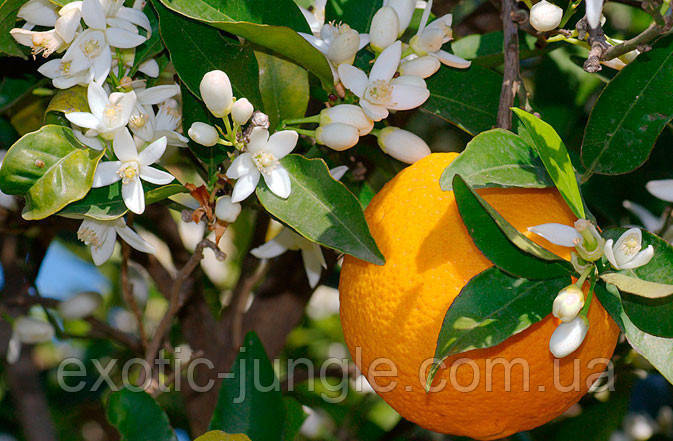 Апельсин Вашингтон Нэвил (Citrus sinensis 'Washington navel) 85-90 см. Комнатный