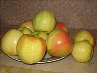 Саженцы яблони Кальвин снежный Двухлетний