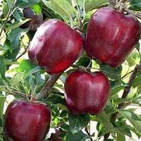 Саженцы яблони Ред Чиф Двухлетний