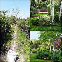 Береза повислая (Betula pendula) /Н100-150 см/ контейнер big bag
