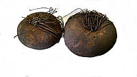 Цикламен корень (Cyclamen), 1 штука.