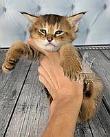 Кошечка Чаузи Ф1 питомника Royal Cats. 08/04/2019