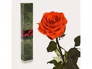 ✅  Долгосвежая роза Огненный янтарь 5 карат на коротком стебле