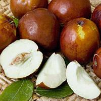 Саженцы Зизифуса Коктебель (1-сеянец) - поздний, крупноплодный, урожайный (унаби, финика, жужуба)