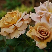Роза Хани Дижон (Honey Dijon) ч/г', фото 3