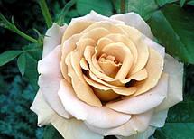 Роза Хани Дижон (Honey Dijon) ч/г', фото 2