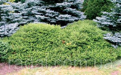 Ель обыкновенная Максвелли С2 ( Picea abies Maxwellii )