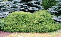 Ель обыкновенная Максвелли С2 ( Picea abies Maxwellii ), фото 1
