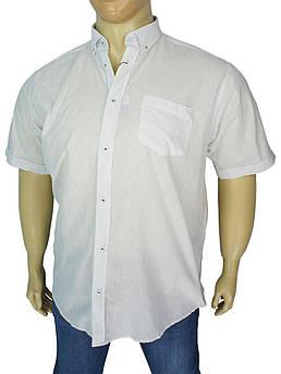 Біла бавовняна сорочка Barcotti A: 0139-01 великих розмірів