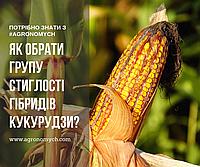 Як обрати групу стиглості гібридів кукурудзи?