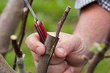 Щеплення рослин: які інструменти використоувати