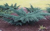 """Можжевельник  виргинский"""" Грей Оул """"(контейнер)\ Juniperus virginiana Grey Owl"""