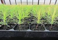 """""""Сосна обыкновенная"""" \"""" Pinus sylvestris"""" (10-15см, контейнер)"""